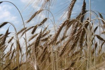 Pšenice dvouzrnka,  odrůda Rudico