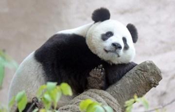 Společnost Hikvision poskytla moskevské zoo ke sledování pand kamery s velkým rozlišením (PRNewsfoto/Hikvision)